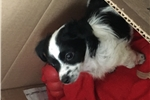 Picture of Teacup Papillon Chihuahua