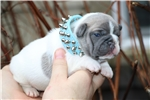 Picture of BLUE FAWN FRENCH BULLDOG