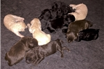 Double Double F2 Best of all 3 pedigrees - Female | Puppy at 4 weeks of age for sale