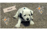 Picture of AKC Westie!