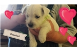 Picture of Rosebud- AKC Westie puppy
