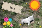 Picture of Max - AKC Westie puppy