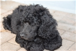 Hoover Standard Poodle - He's Hugely Handsome! | Puppy at 9 weeks of age for sale