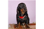 Picture of Champion sired, International Pedigree puppy
