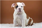 Picture of Patsy - 8 wks old - Papered