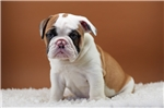 Picture of Paco - 8 wks old - Papered