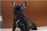 Picture of Finn  - French Bulldog - Papered