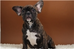 Picture of Friday  - French Bulldog - Papered