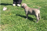 Picture of Adorable AKC Weimaraner