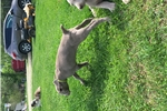 Picture of Adorable super sweet AKC Weimaraner