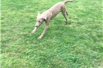 Picture of AKC Weimaraner Male - Super sweet