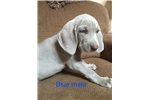Picture of AKC Weimaraner Blue Collar Male