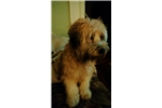 Picture of Wheaten Terrier Puppies Coming Soon May 2016