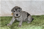 Picture of AKC Great Dane Puppies