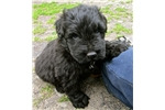 Picture of Jax - Large Black AKC Bouvier Puppy!