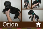 Picture of American Great Dane Puppy