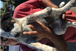Picture of Australian cattle puppies for sale
