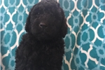 Picture of Beautiful Black F1b Labradoodle