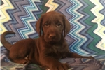 Picture of Beautiful Chocolate Labradoodle