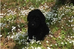 Picture of Female Black Standard Poodle Pup