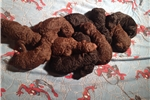 Picture of Male Chocolate Standard Poodle Pup
