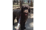 Picture of Female Chocolate Standard Poodle Pup