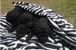 Picture of Male Black Standard Poodle Pup