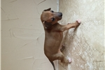 Picture of Italian Greyhound Puppies AKC