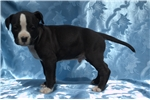 Picture of American Staffordshire Terrier puppy