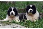 Picture of caucasian shepherd puppies rare colors