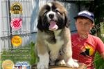 Caucasian Mountain Dog for sale