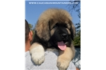 Picture of puppy male for show and stud