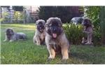 Picture of amazing puppies caucasian mountain dog