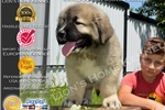 Picture of Bear ! huge puppy !