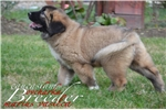 Picture of puppy girl for show and breeding