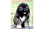 Igor ,puppy male available | Puppy at 8 weeks of age for sale