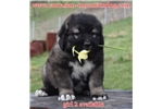 Tarra ,puppy girl available | Puppy at 8 weeks of age for sale