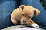 Picture of Teacup chihuahua puppy