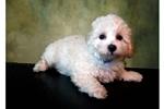 Picture of Male Bichon Frise Puppy