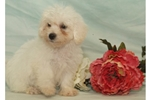 Picture of Female Bichon Frise Puppy
