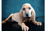 Picture of Male Bloodhound Puppy
