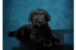 Female Bouvier des Flandres Puppy | Puppy at 30 weeks of age for sale
