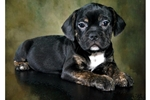 Picture of Bulldog/Puggle Hybrid Puppy