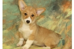 Pembroke Welsh Corgi  | Puppy at 16 weeks of age for sale