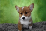 Pembroke Welsh Corgi | Puppy at 18 weeks of age for sale
