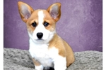 Female Prembroke Welsh Corgi | Puppy at 22 weeks of age for sale