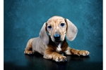 Picture of Female Dachshund Puppy