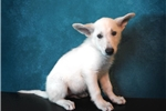 Picture of White German Shepherd