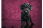 Picture of Male Kerry Blue Terrier Puppy