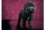 Picture of Female Kerry Blue Terrier